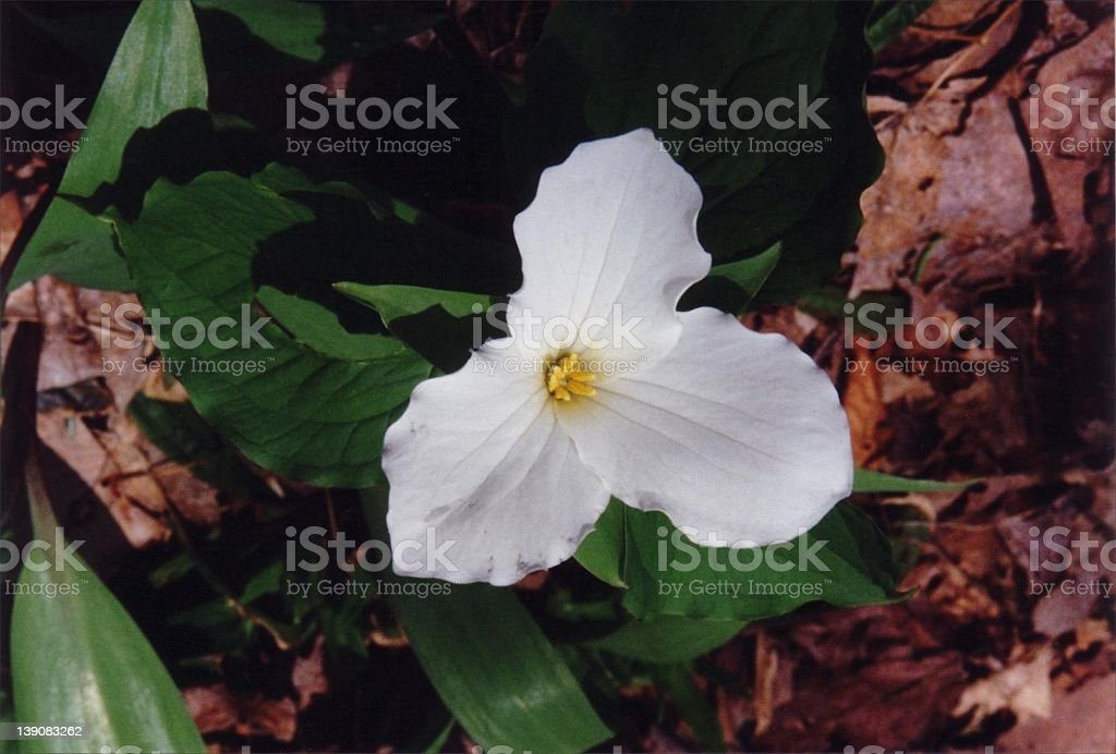 White Trillium royalty-free stock photo