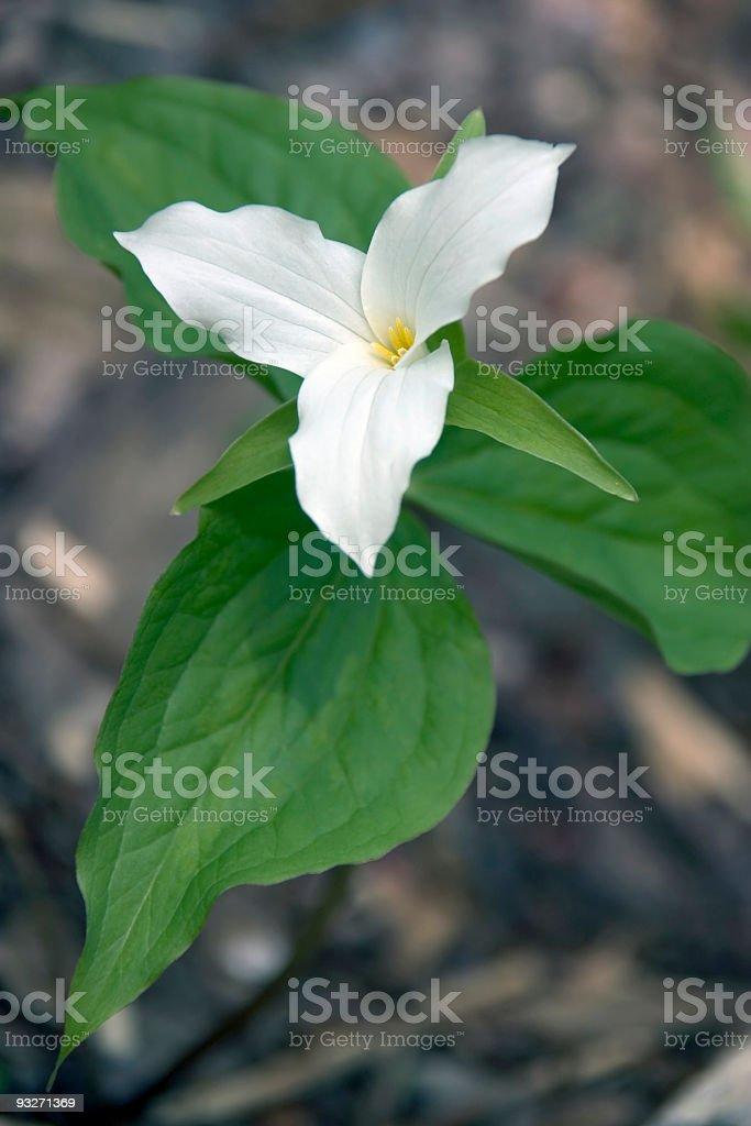 White Trillium royalty-free stock photo