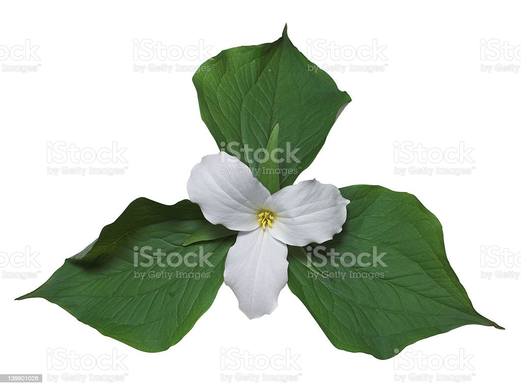 White trillium with leaves stock photo