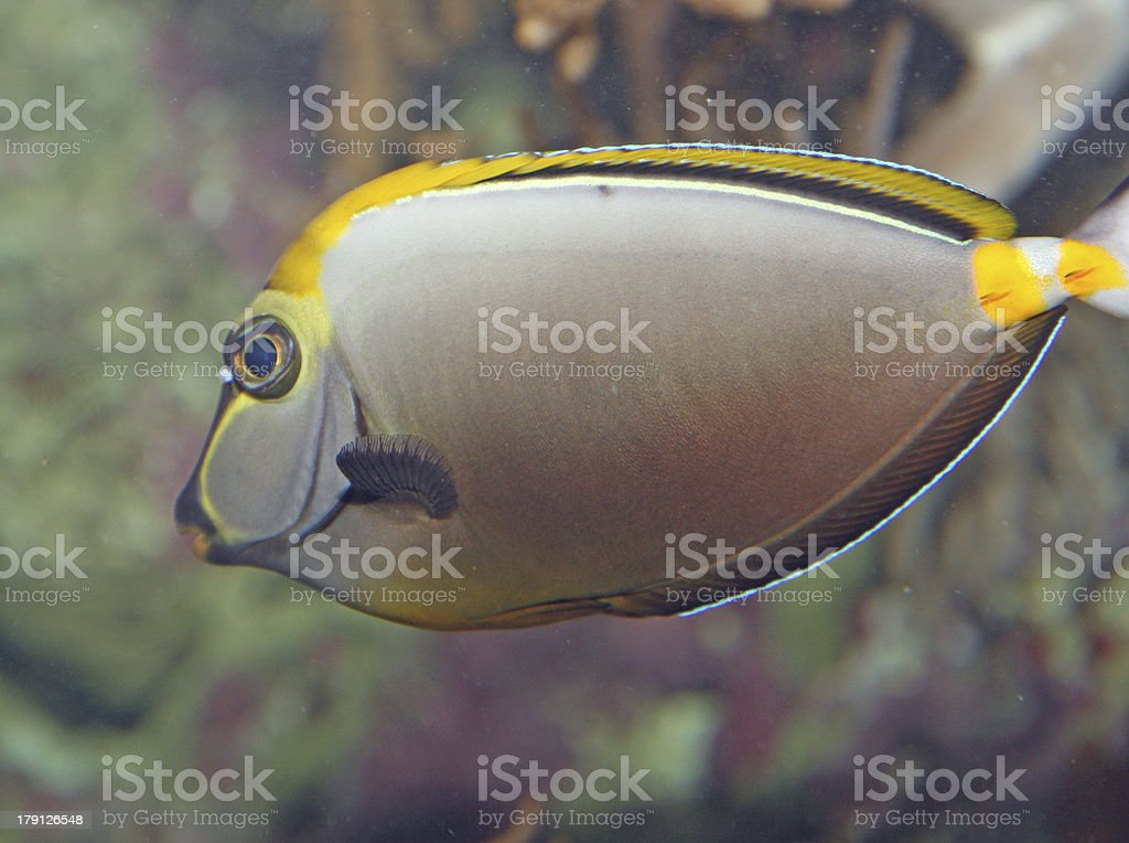 white tropical fish with veining swims in temperate seas royalty-free stock photo