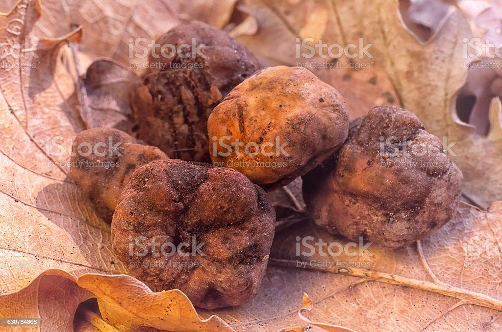 White truffle (Tuber magnatum) in the oak forest stock photo