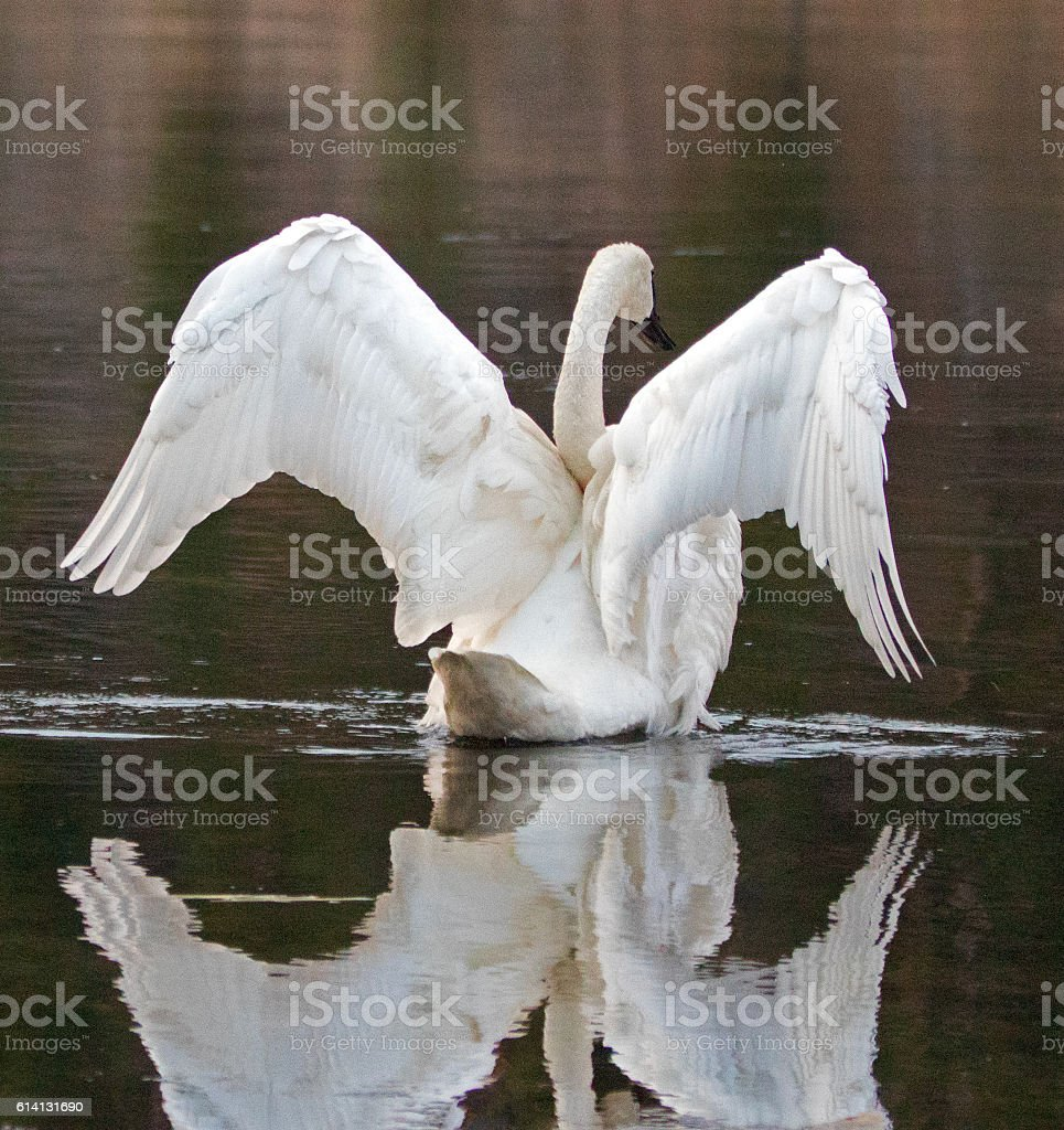 White Trumpeter Swan spreading his wings in Yellowstone River stock photo