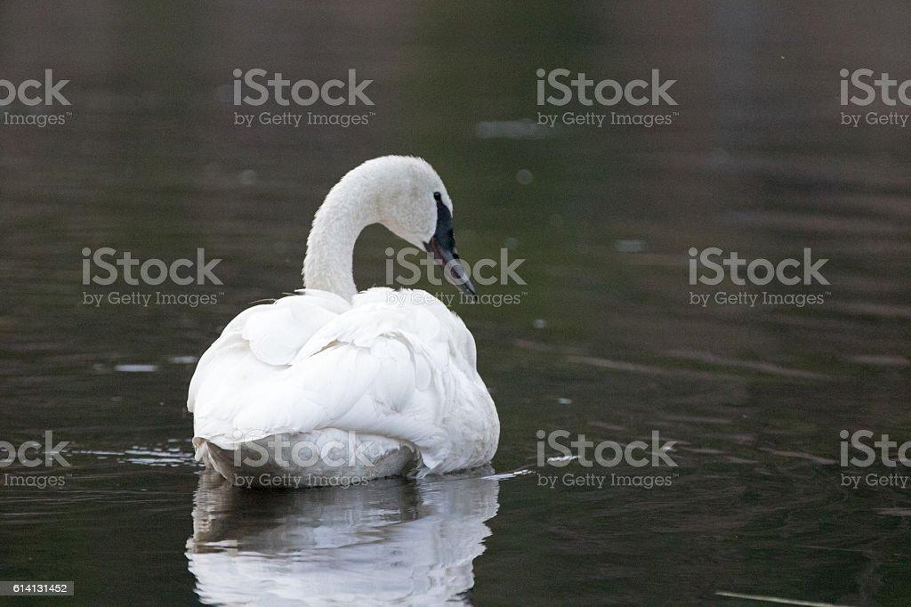 White Trumpeter Swan swimming in Yellowstone River stock photo