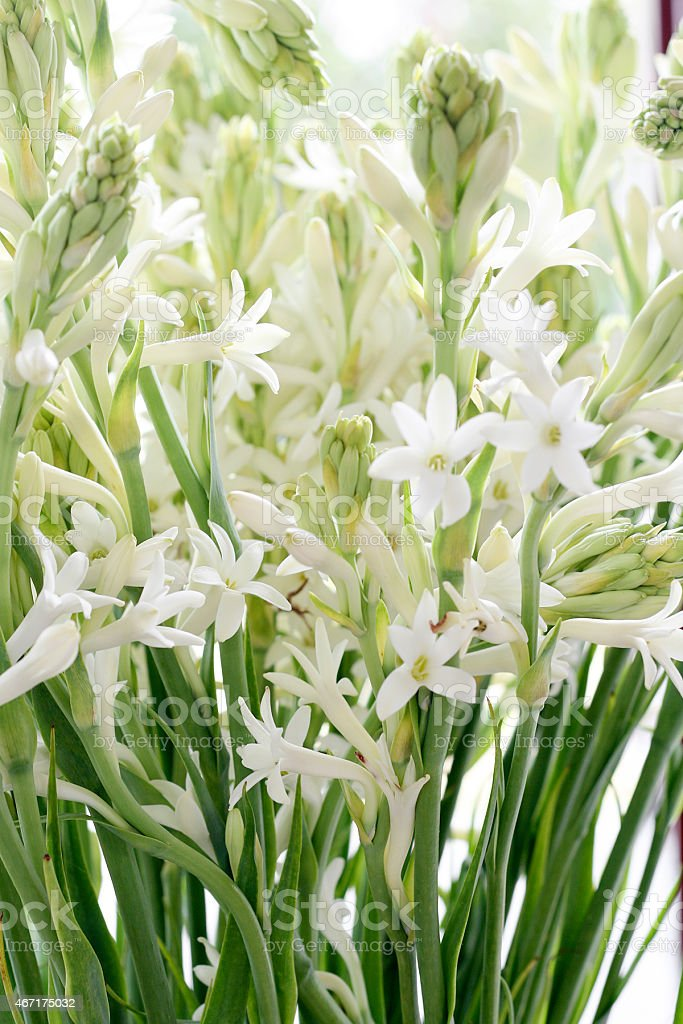 White tuberose flowers at a farmer's market stock photo