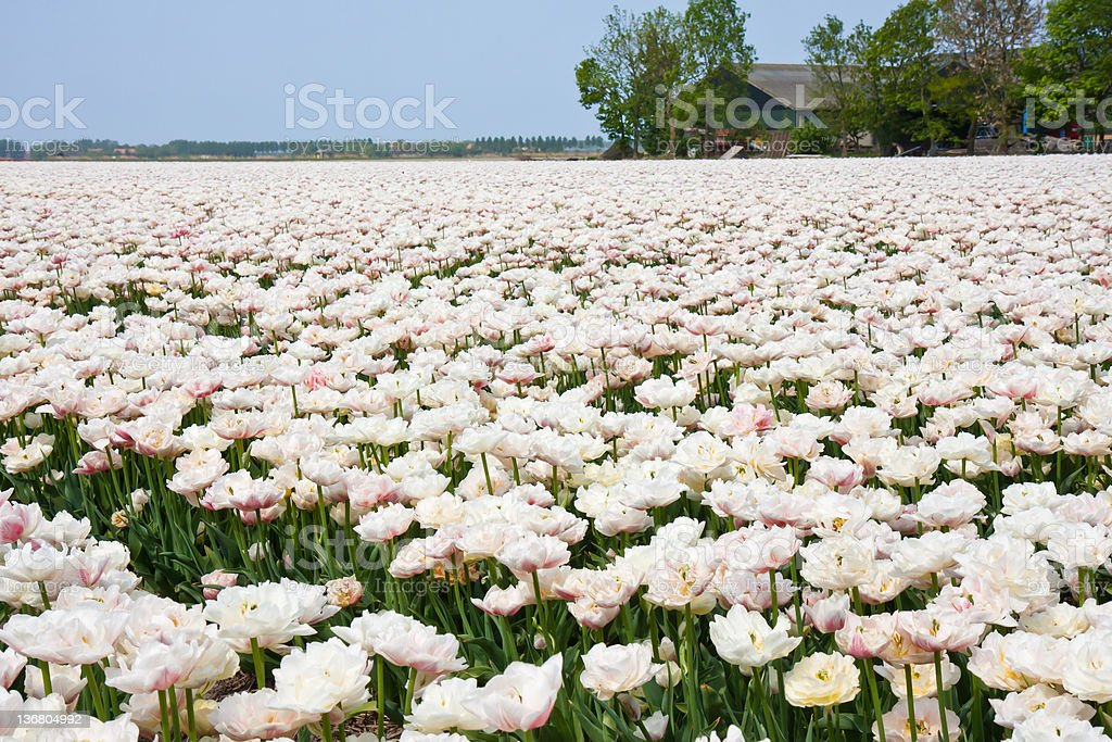 White tulip field in the Netherlands royalty-free stock photo