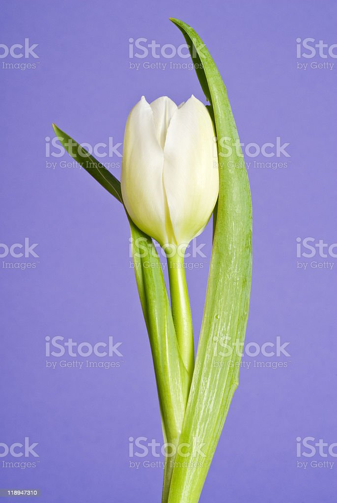 White Tulip Flower stock photo