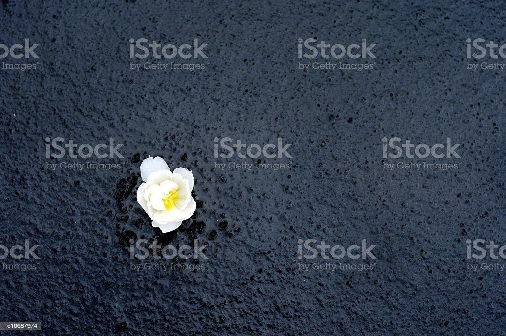 White tulip in black 6 stock photo