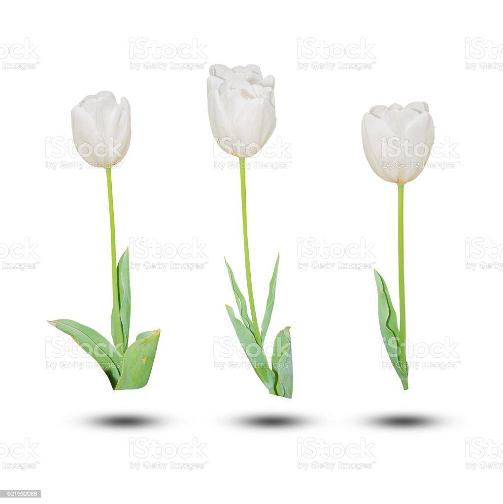 White tulip isolated on white background. stock photo