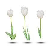 White tulip isolated on white background.