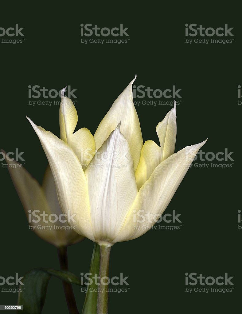 White Tulip royalty-free stock photo