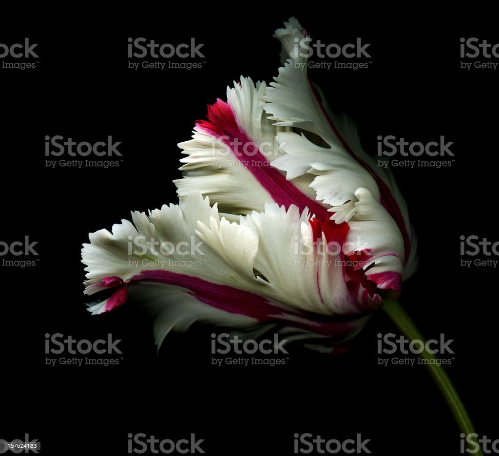 White tulip with red stripes on black stock photo