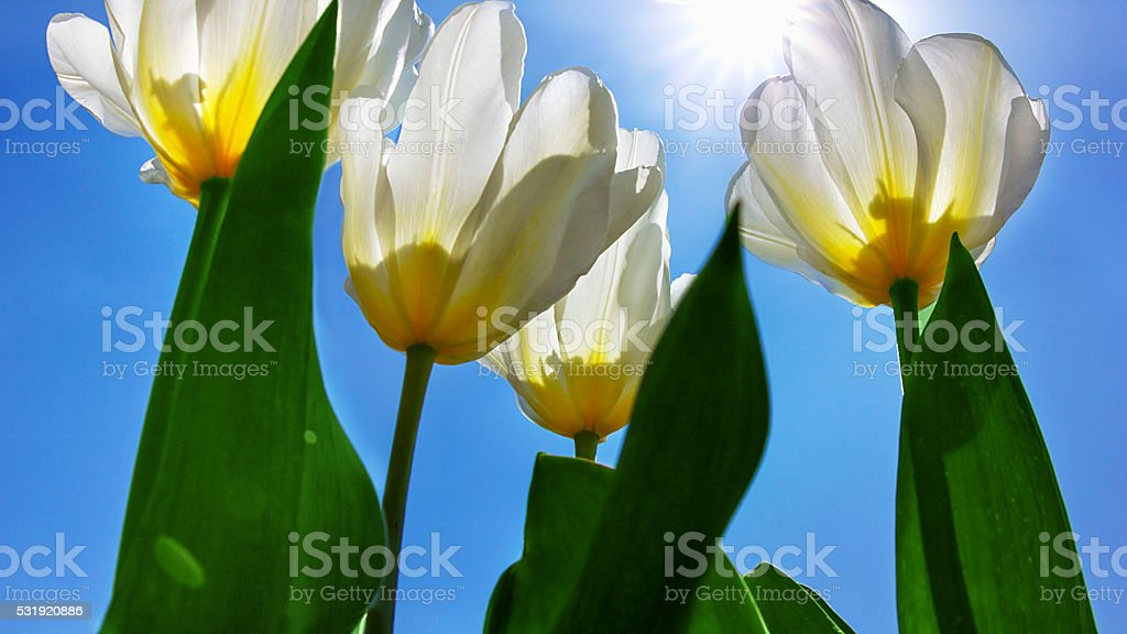 white tulips against a blue sky stock photo