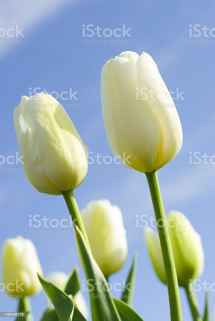 White Tulips in front of a Blue Sky royalty-free stock photo