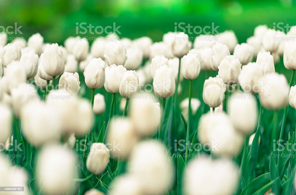 White Tulips in Russia stock photo