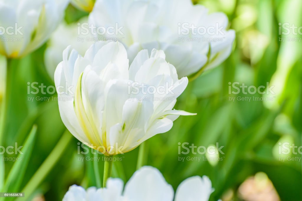 White tulips in the spring garden. Springtime flowering. stock photo
