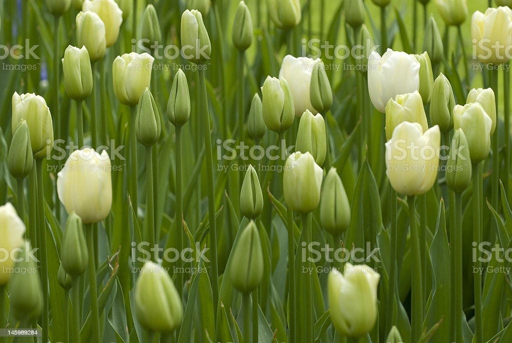 チューリップ緑の背景の白い ロイヤリティフリーストックフォト