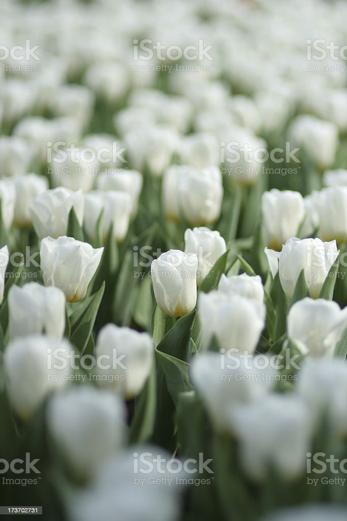 white tulips royalty-free stock photo