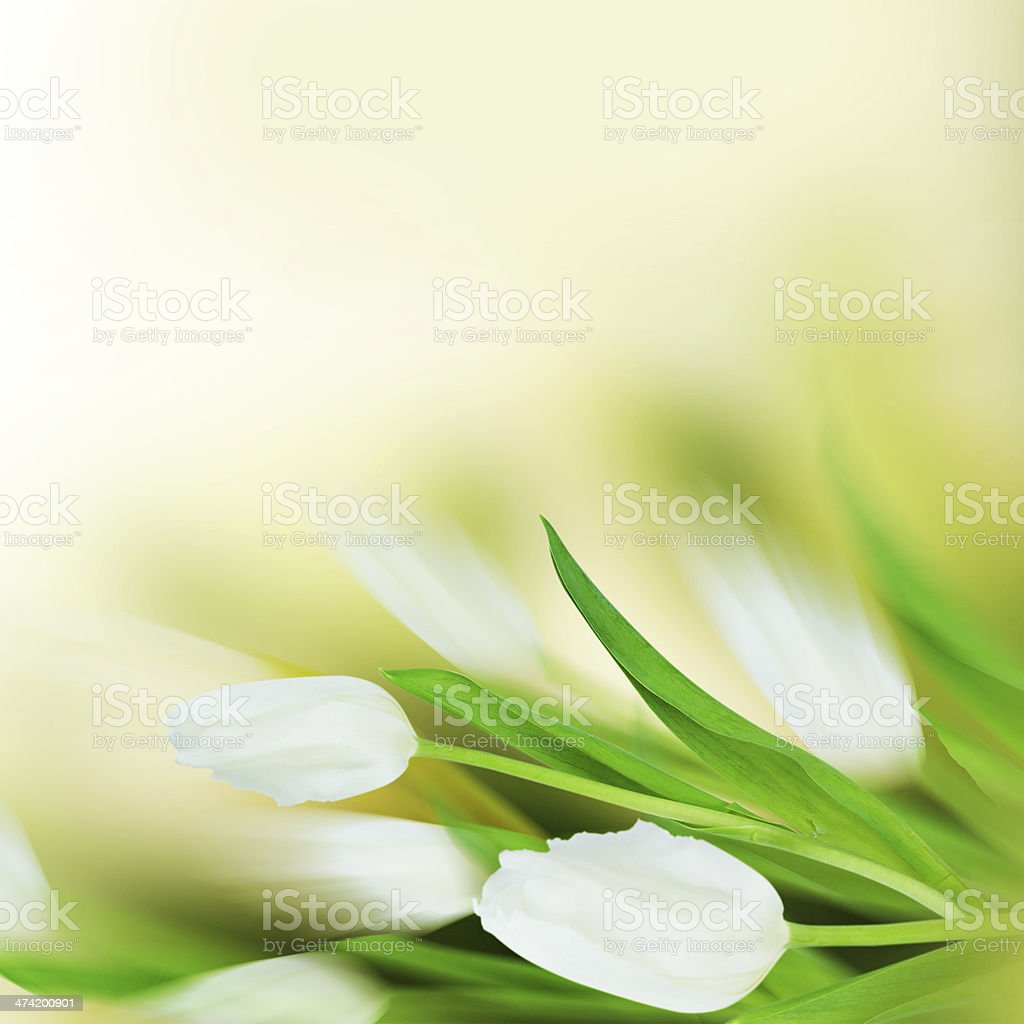 White tulips with artistic blur. stock photo