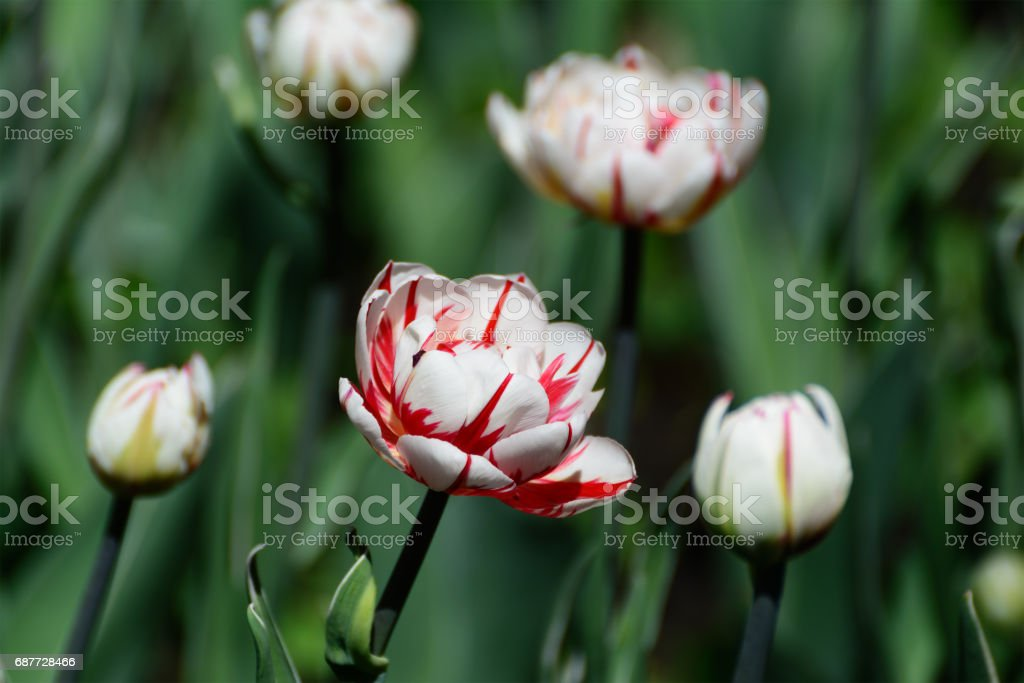 White tulips with red stripes in a spring garden. stock photo