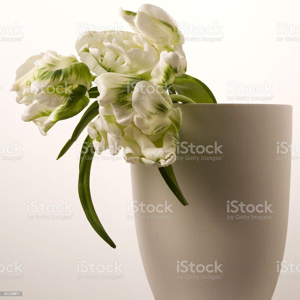 White tulp royalty-free stock photo