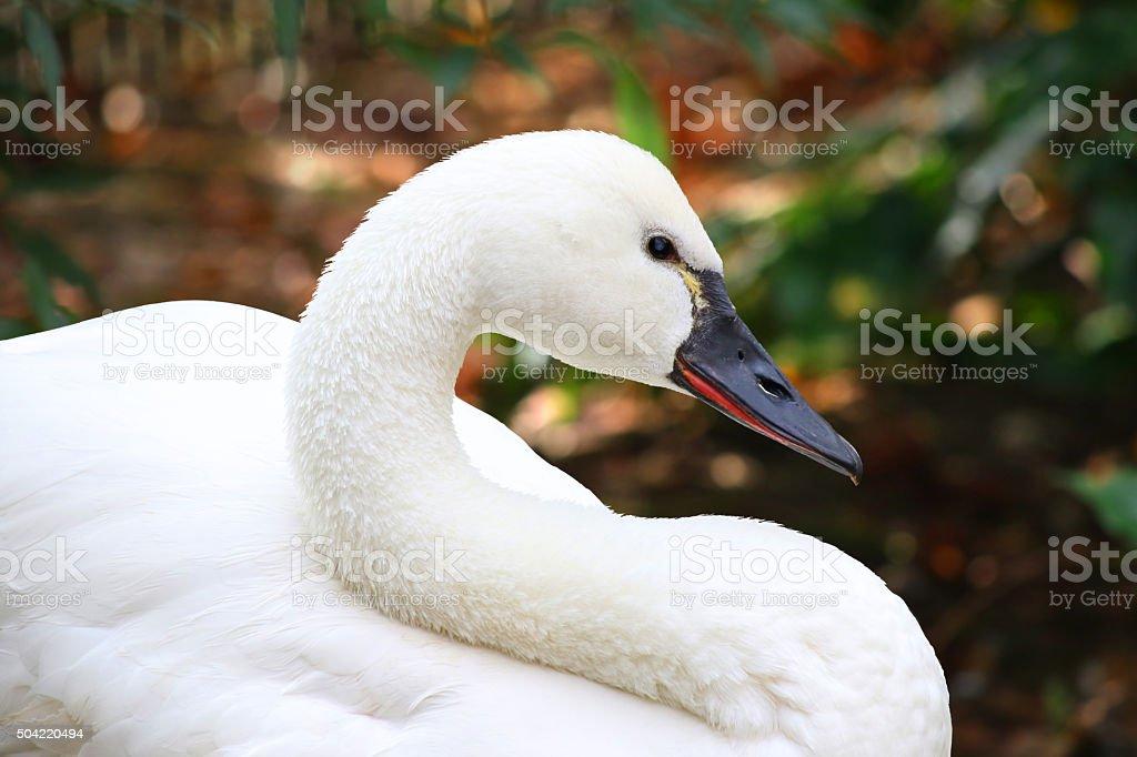 White Tundra Swan Cygnus columbianus whistling swan stock photo