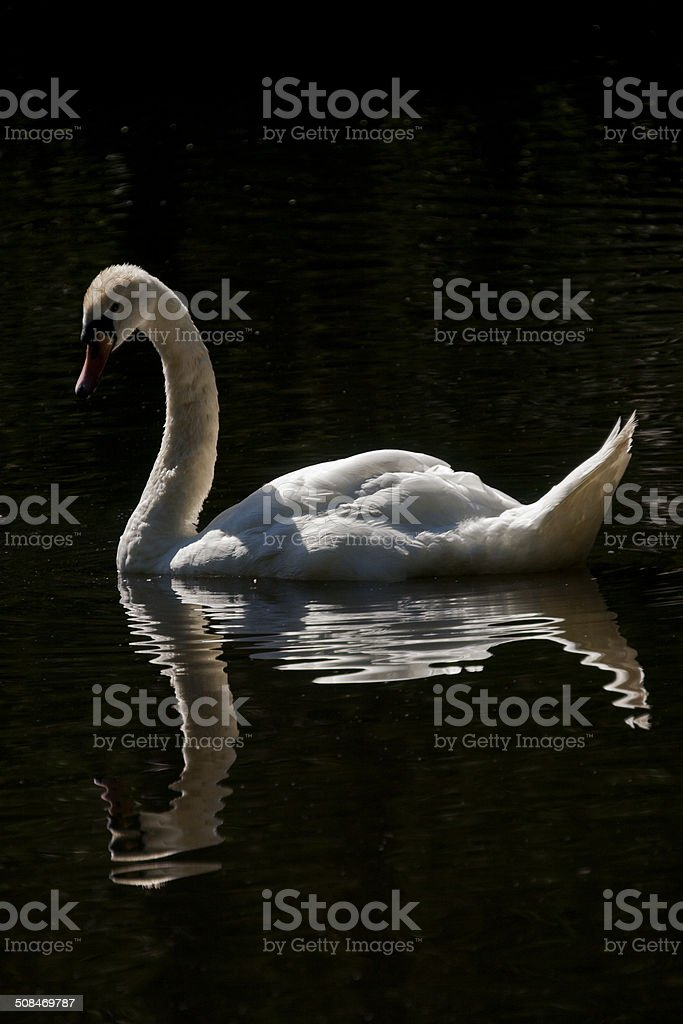 White Tundra Swan on Water with Reflection stock photo