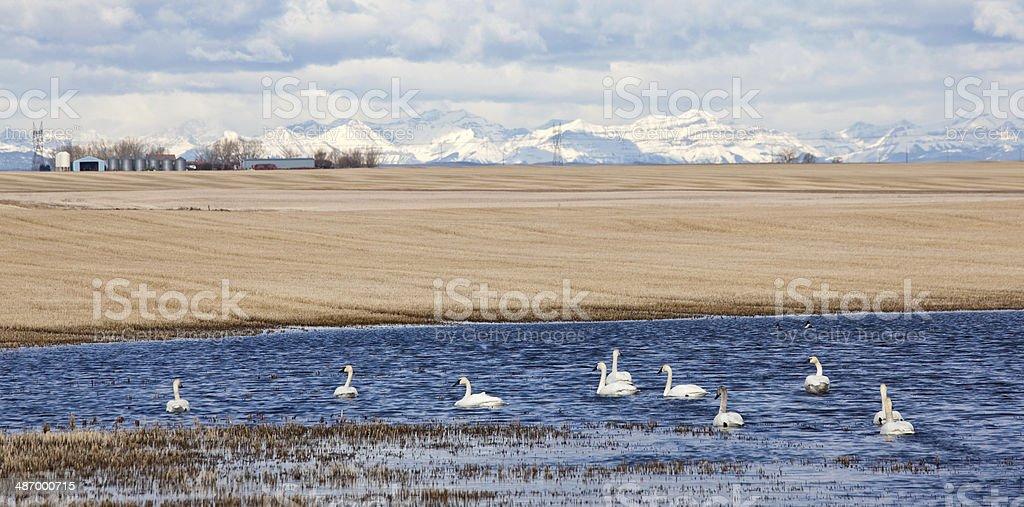 White Tundra Swans stock photo