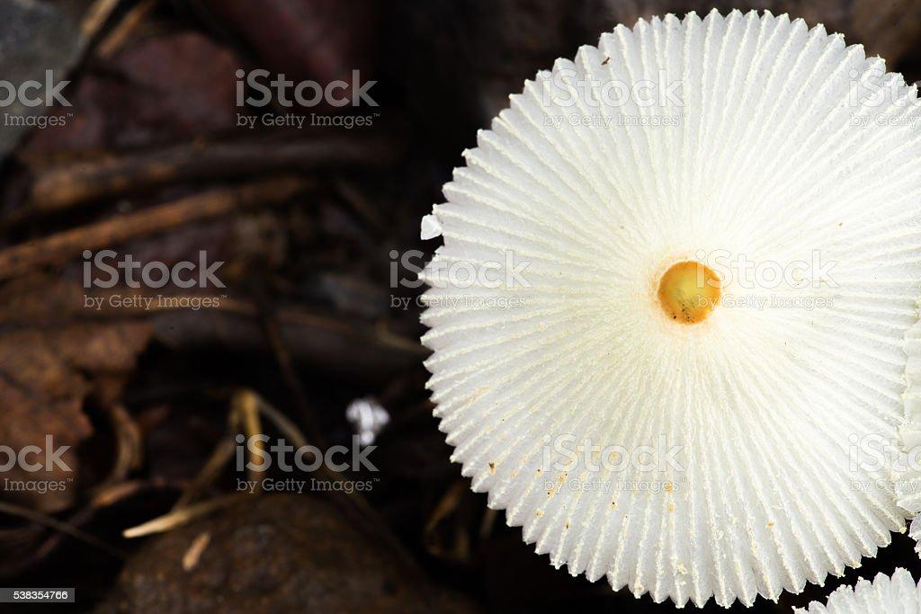 White Umbrella Mushrooms stock photo