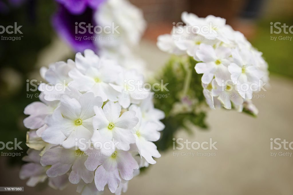 White Verbena Flowers stock photo
