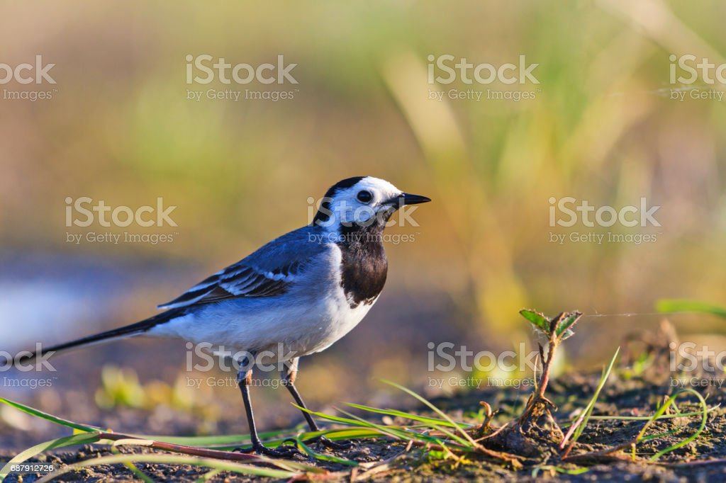 White Wagtail ashore wild lake in the sun stock photo
