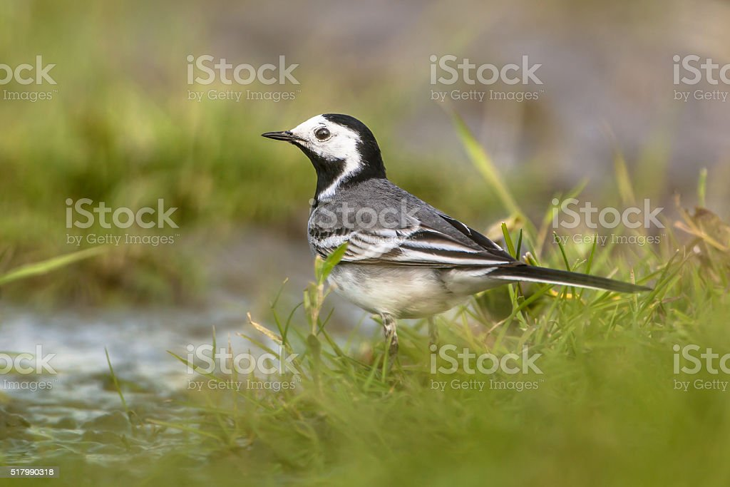 white wagtail male stock photo