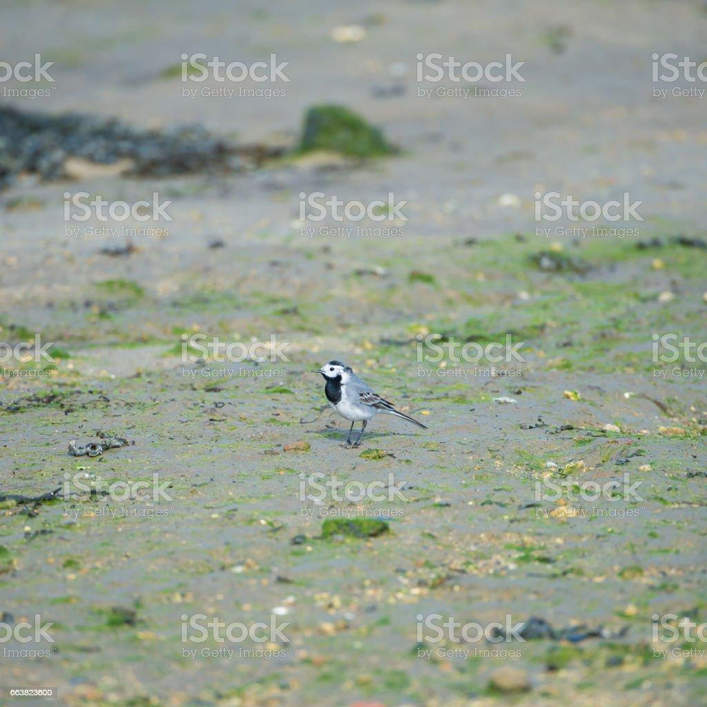 White Wagtail, Motacilla alba stock photo