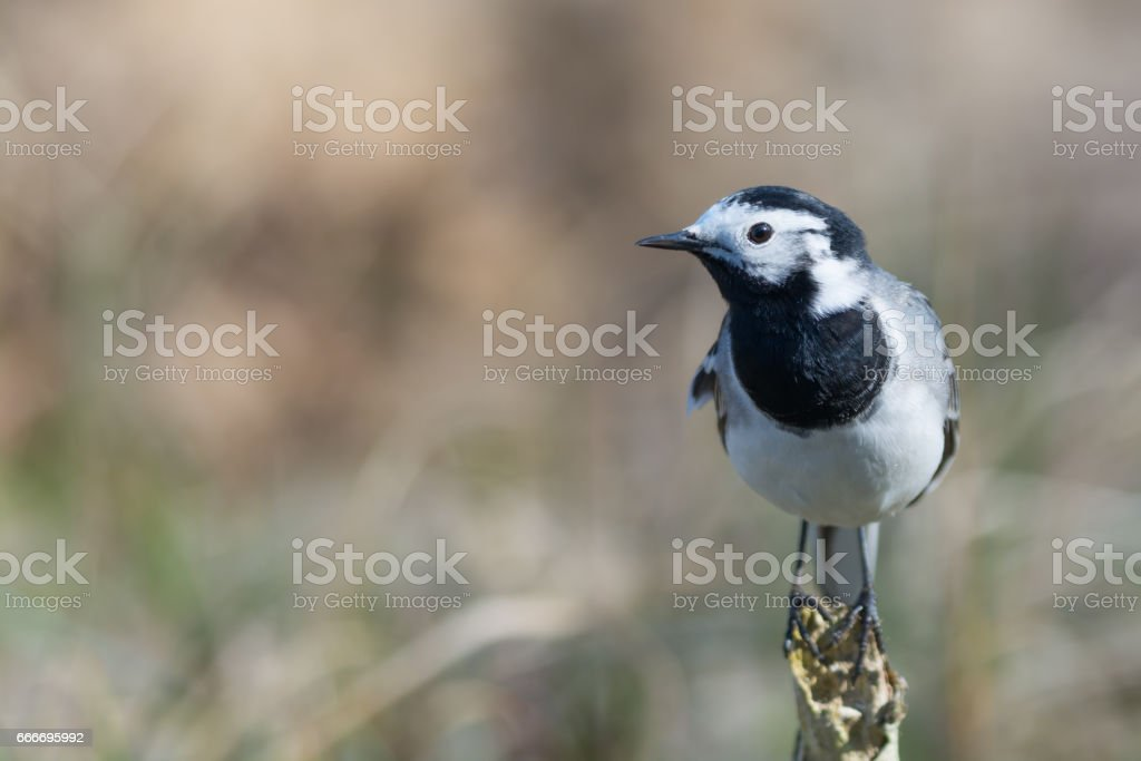 White Wagtail Sitting on a Branch stock photo