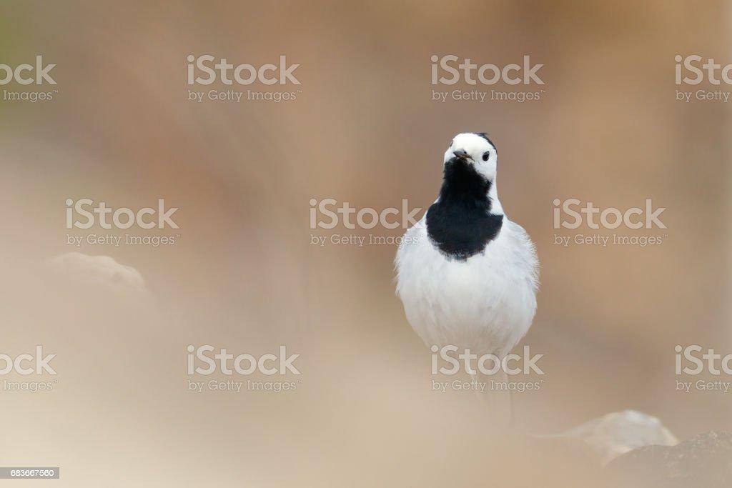 White Wagtail sitting on the stone (Motacilla alba) stock photo