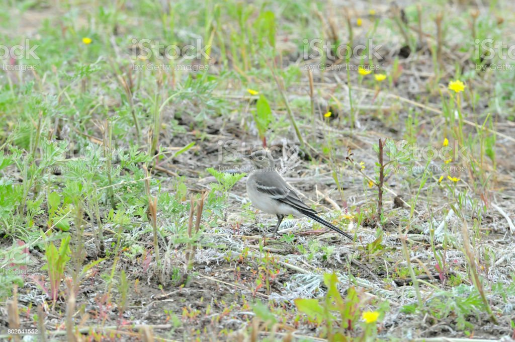 White wagtail, young bird. The wagtails form the passerine bird genus Motacilla. stock photo