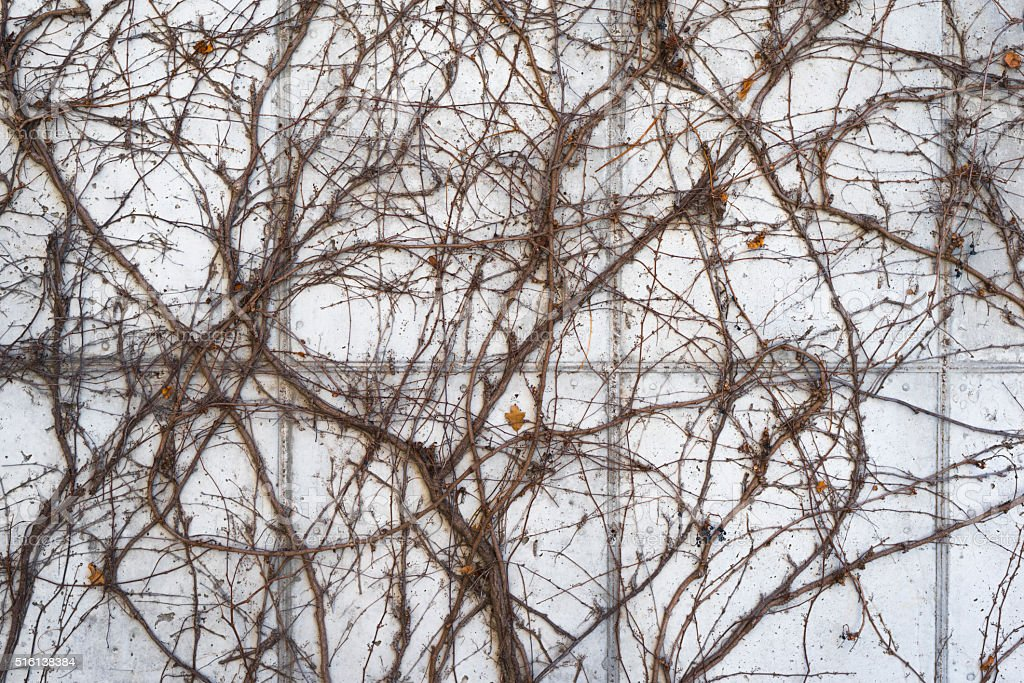 white wall covered in tree branch vines background stock photo