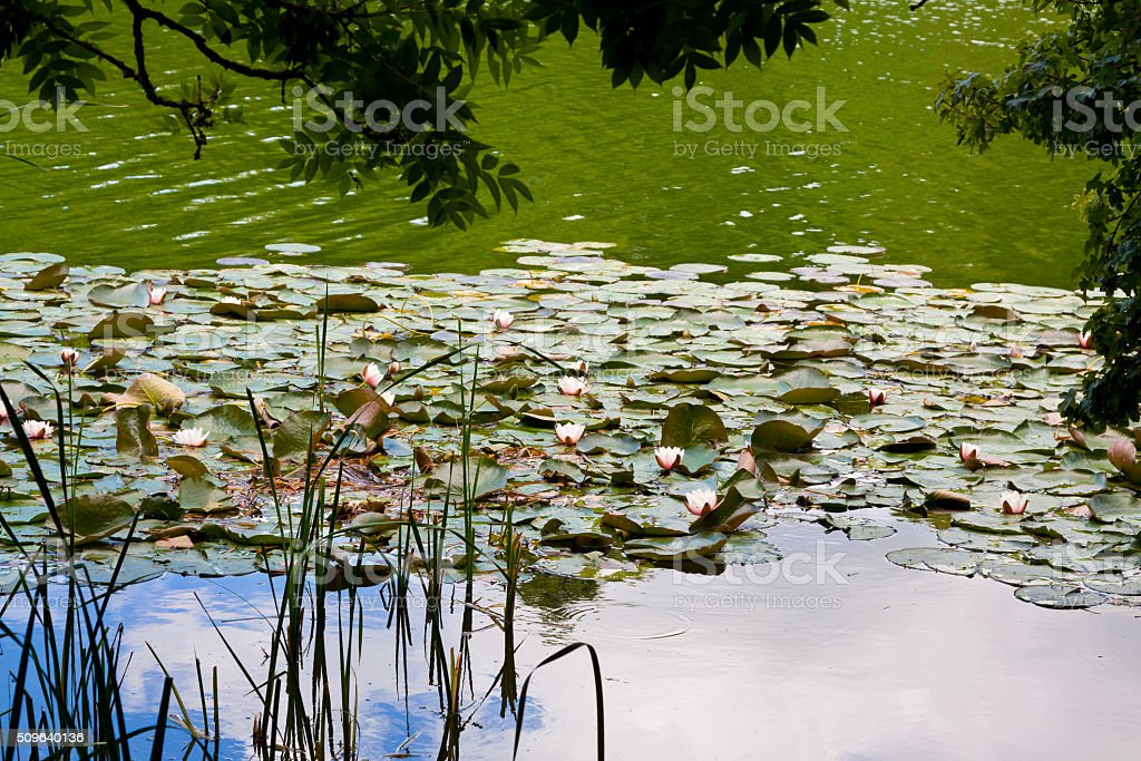 White Water Lilies at Blenheim Palace, Woodstock, Oxfordshire, England, UK. stock photo