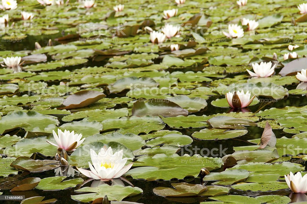 White Water Lilies on a lake royalty-free stock photo