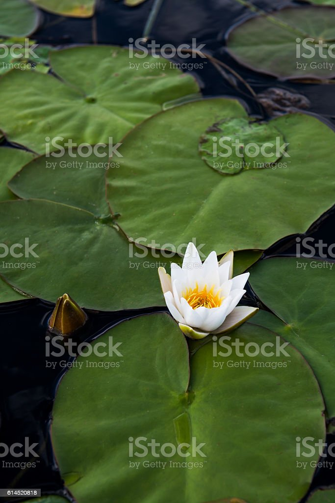 White Water Lilies stock photo