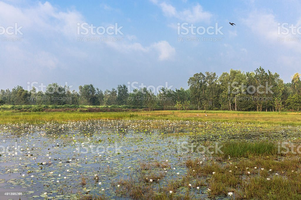 White Water Lilly growing in a Marshy area or pond stock photo
