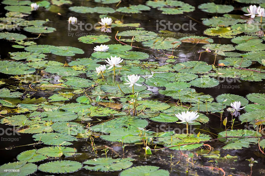 White Water Lilly growing in a pond stock photo