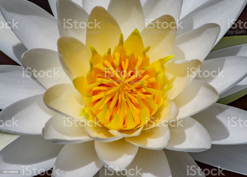 White Water Lily Elegance stock photo