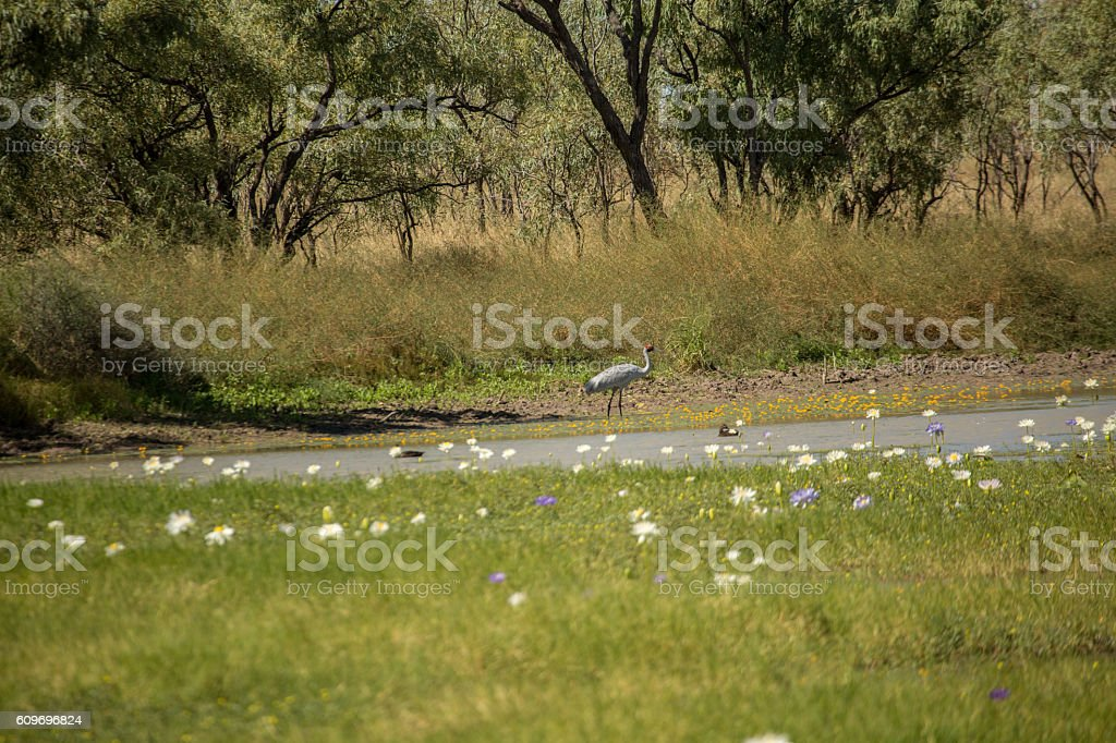 White water Lily flowers on a billabong, Australia stock photo
