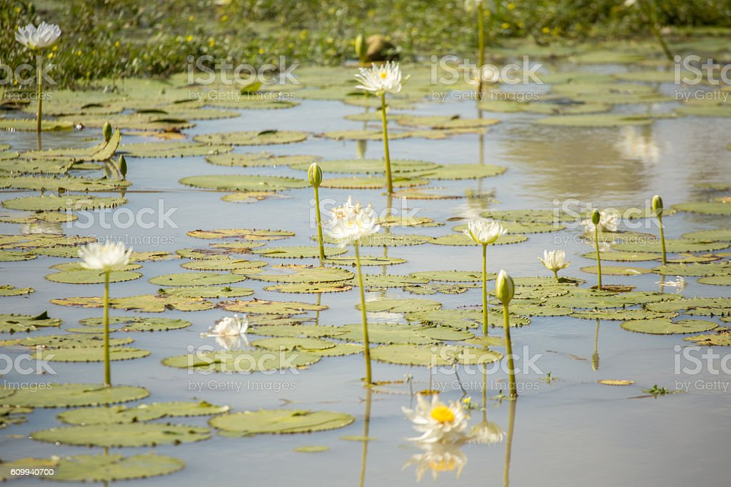 White water Lily flowers on billabong stock photo