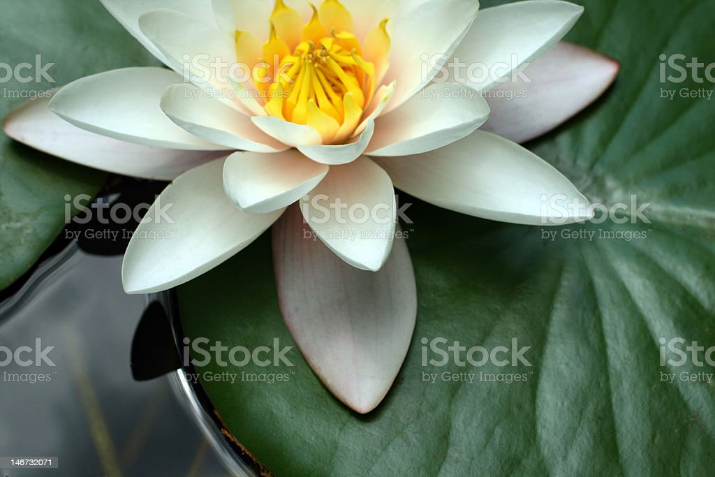 White water lily in a pond royalty-free stock photo