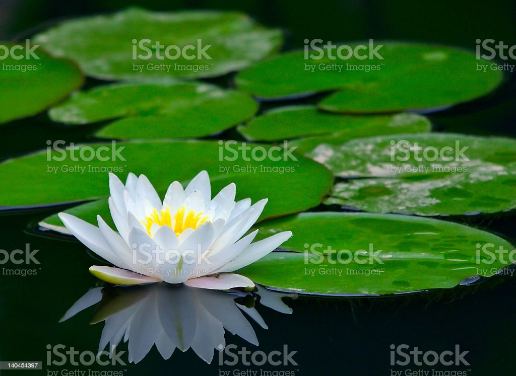White water lily in a pond with lily pads stock photo