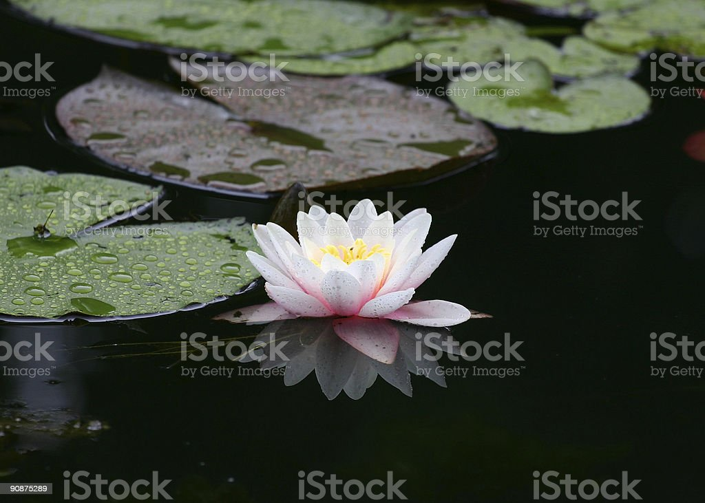 White Water lily in Giverny stock photo