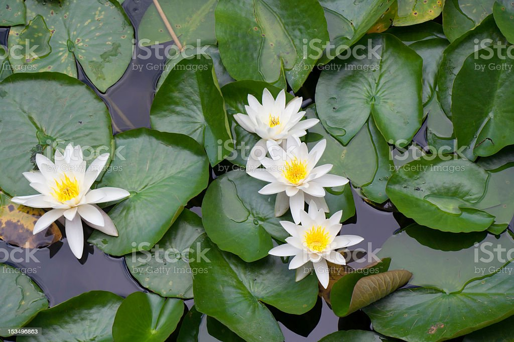 White Water Lily in Pond royalty-free stock photo