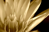 white water lily in Sepia