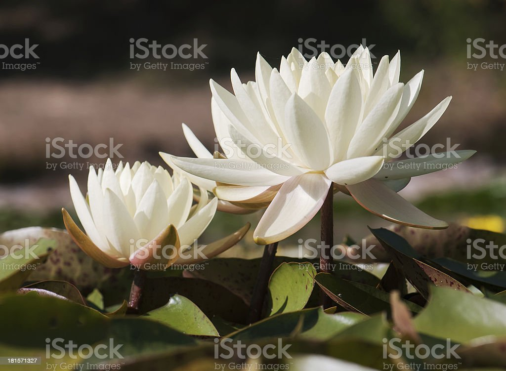 White water lily in the garden pond royalty-free stock photo